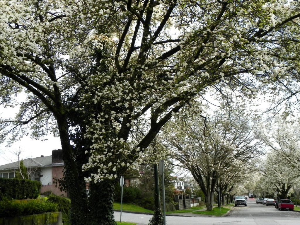 Magnolia trees line the streets of East Vancouver