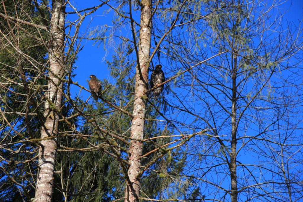 Bald eagles at Brackendale