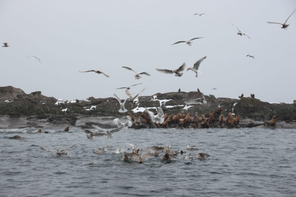 Sea lions off Denman Island