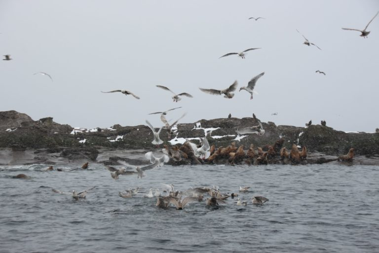 Sea lions off Denman Island