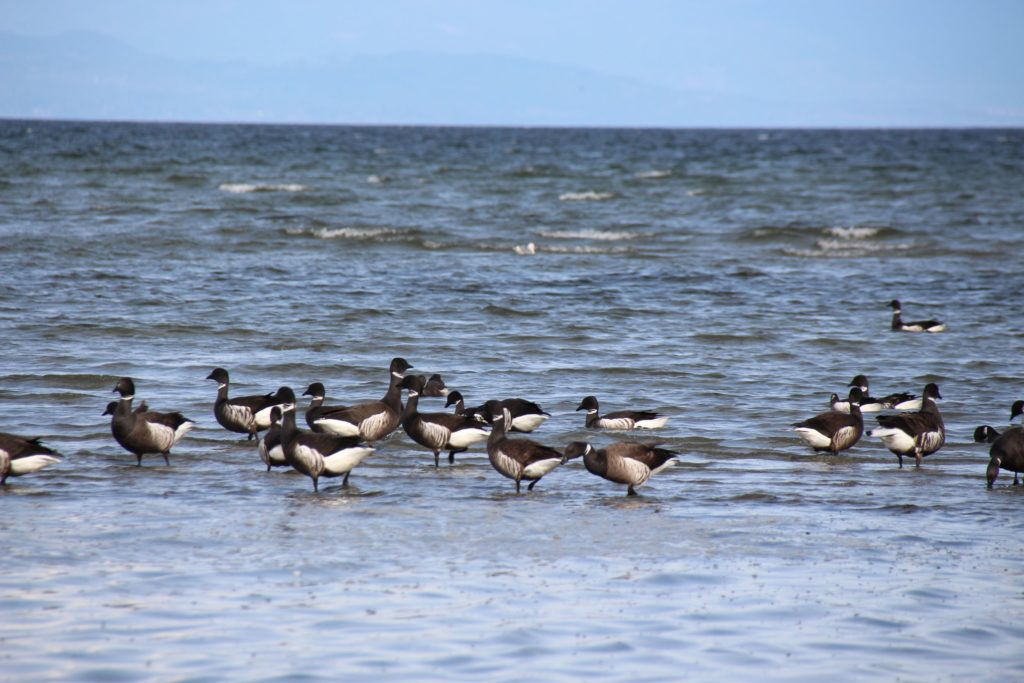 Siberia Brant Geese Parksville