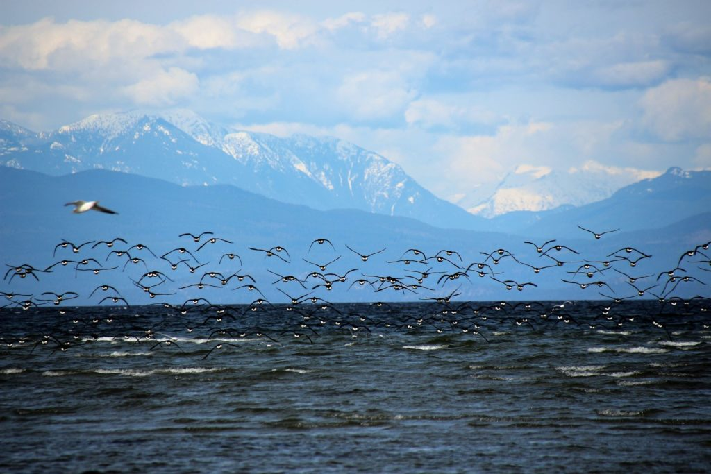 Brant Geese at Parksville