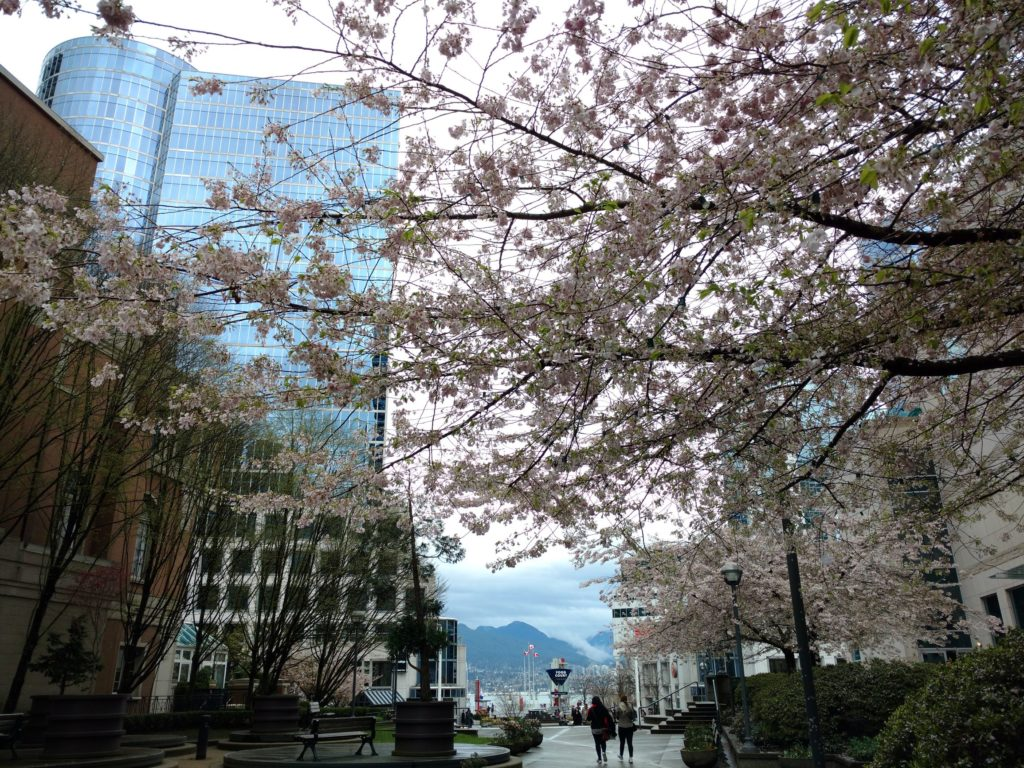Cherry blossoms amid office buildings