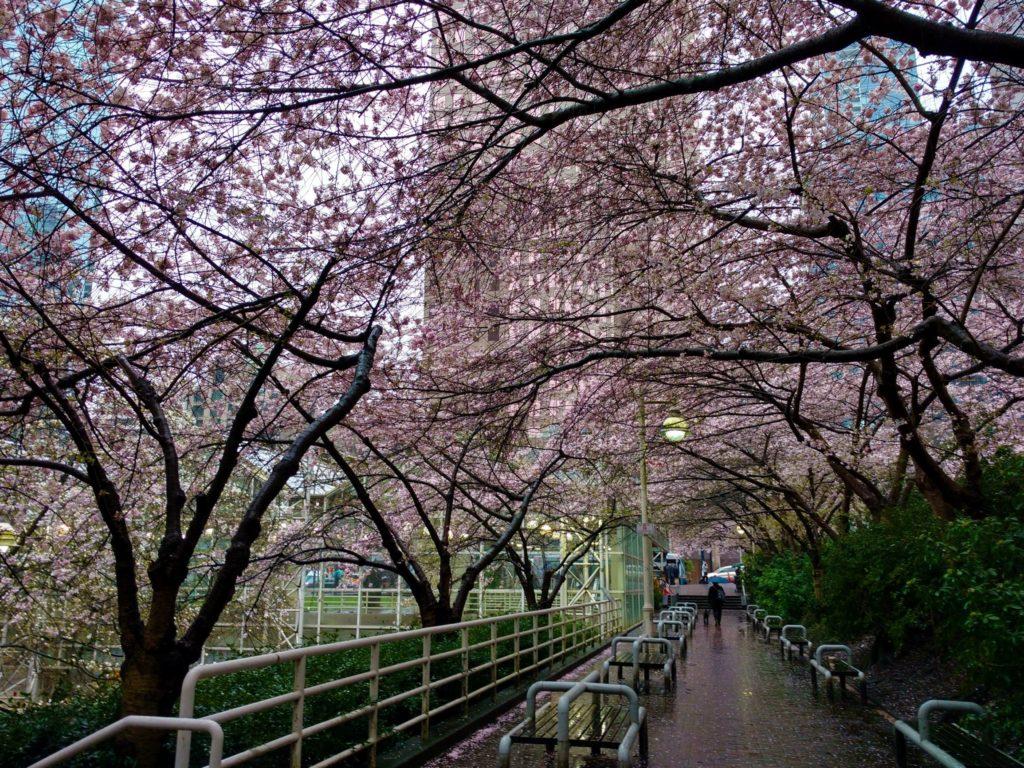 Burrad Station Cherry trees
