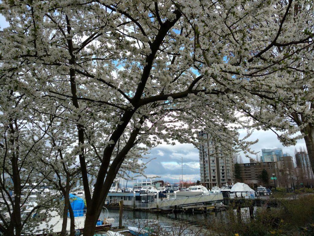 White Cherry blossoms coal harbour
