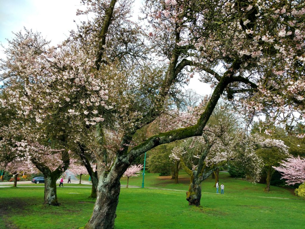 Cherry blossoms Stanley Park