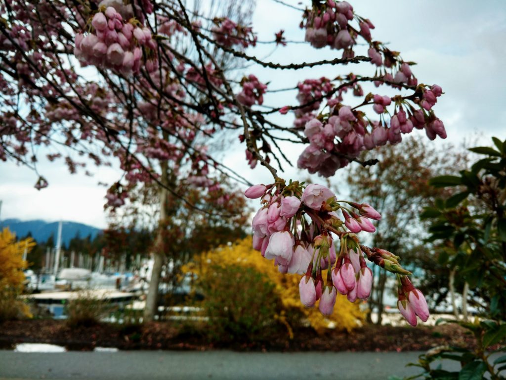 pink Cherry blossoms coal harbour