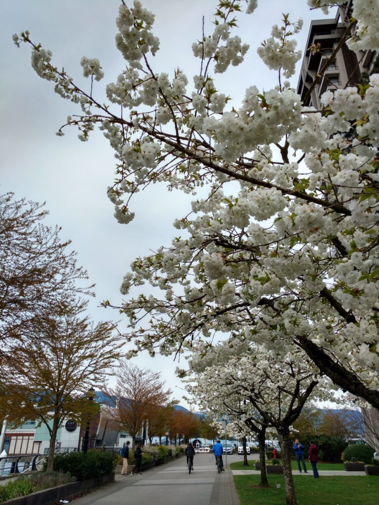 Cherry trees lined walkway Coal Harbour