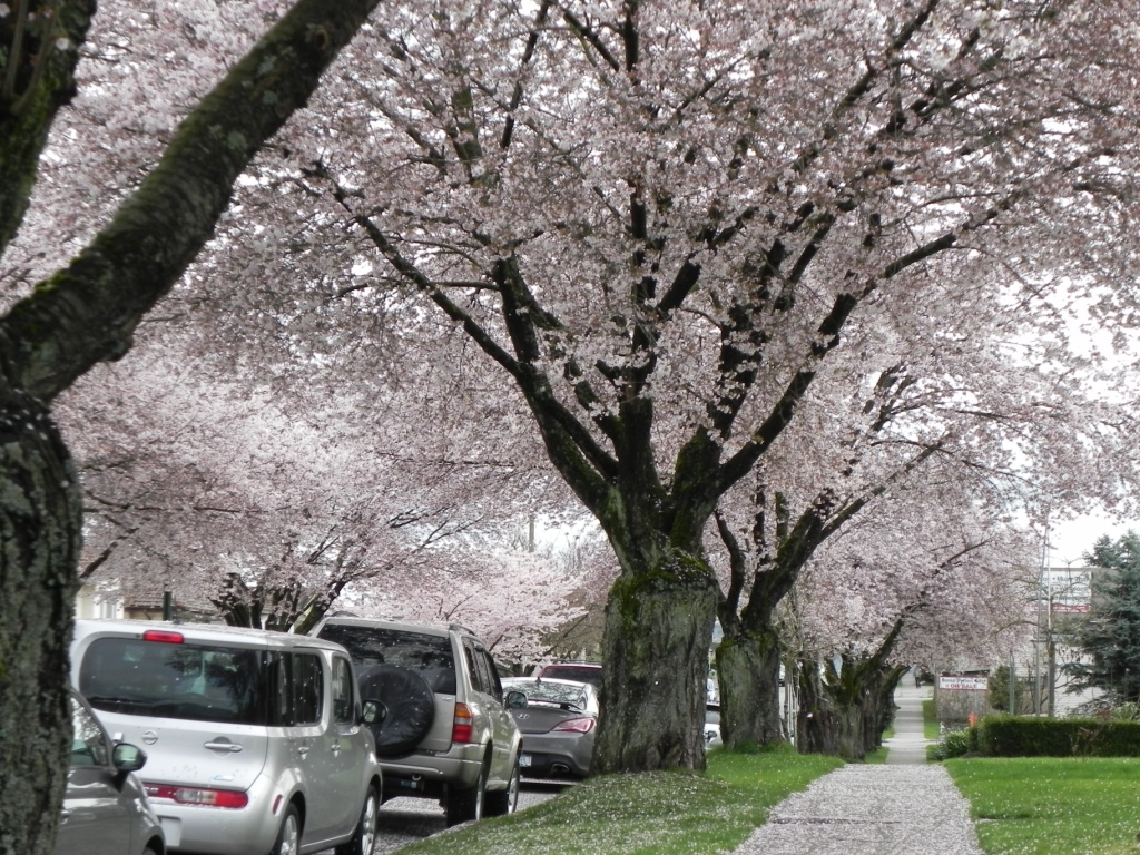 Accolade Cherry blossoms East Vancouver