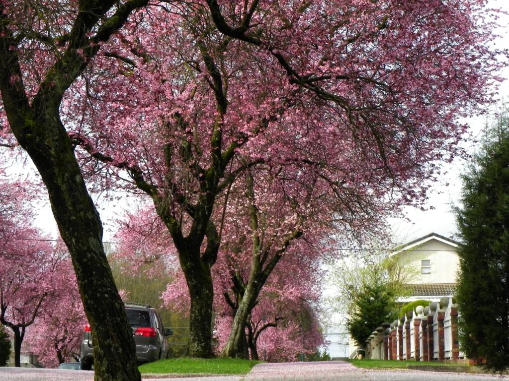 Plum blossoms East Vancouver