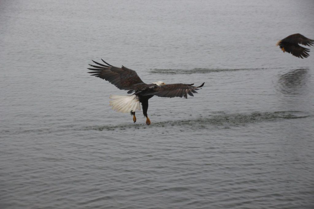 Bald eagle at Khutzeymateen Inlet