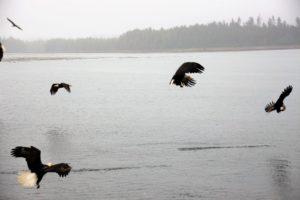 Bald eagles Khutzeymateen