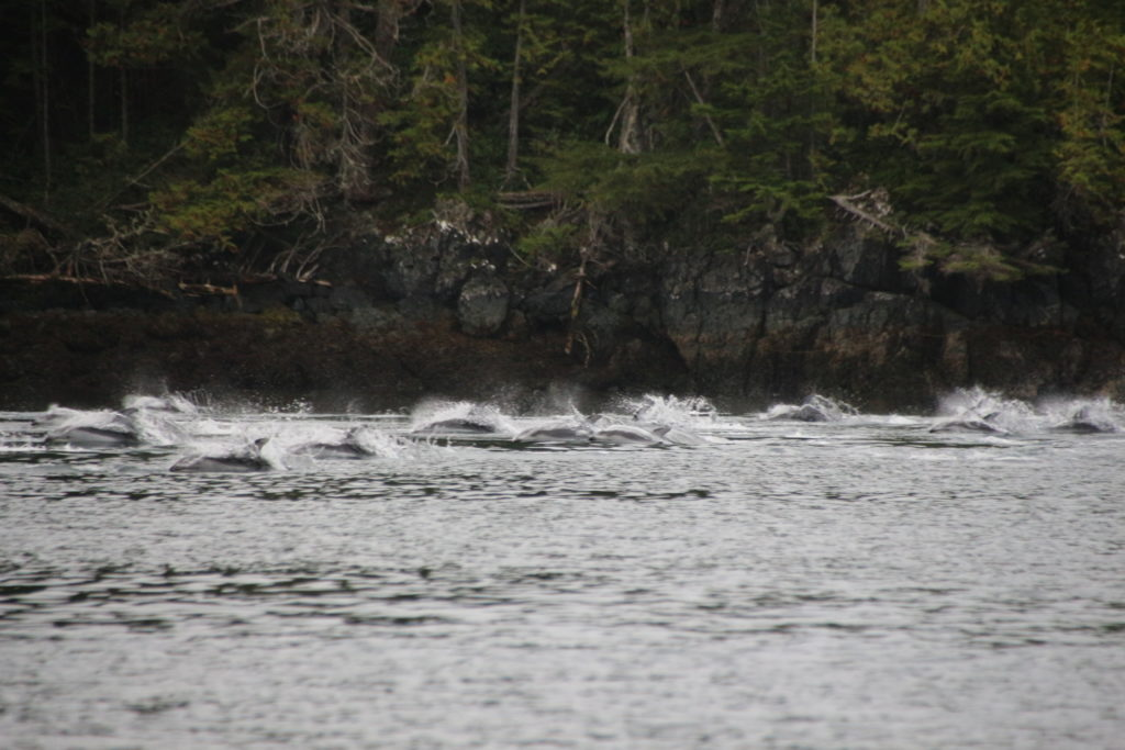 Dolphins near Glendale Cove