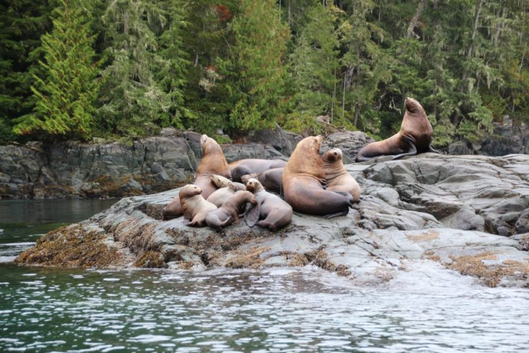 Sea Lions near Campbell River