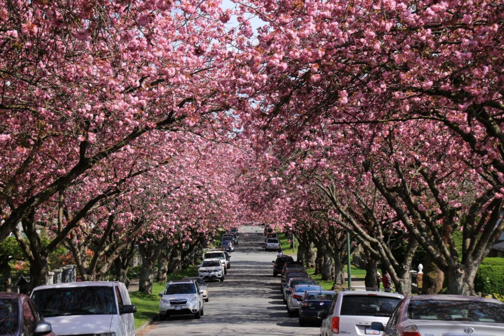 Cherry blossoms East Vancouver