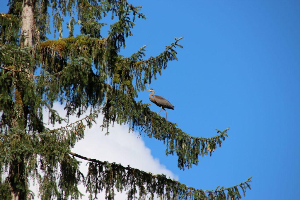 Blue heron at Fish Creek