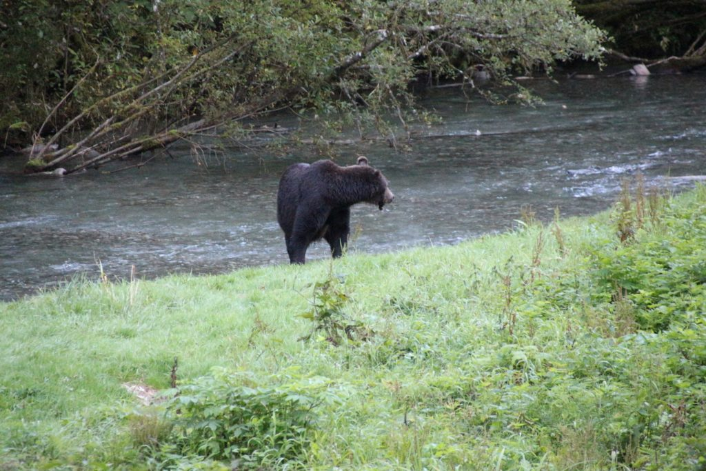 an injured grizzly sow looked back while running for life at Fish Creek