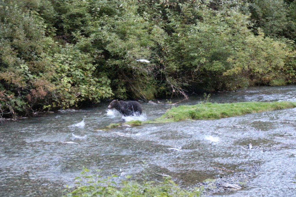 escaping grizzly sow at Fish Creek