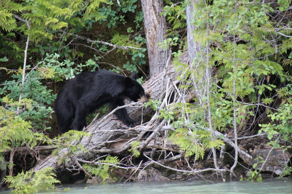 Black bear at Wells Gray Park