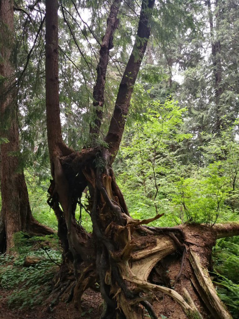 trees growing out of fallen trunk