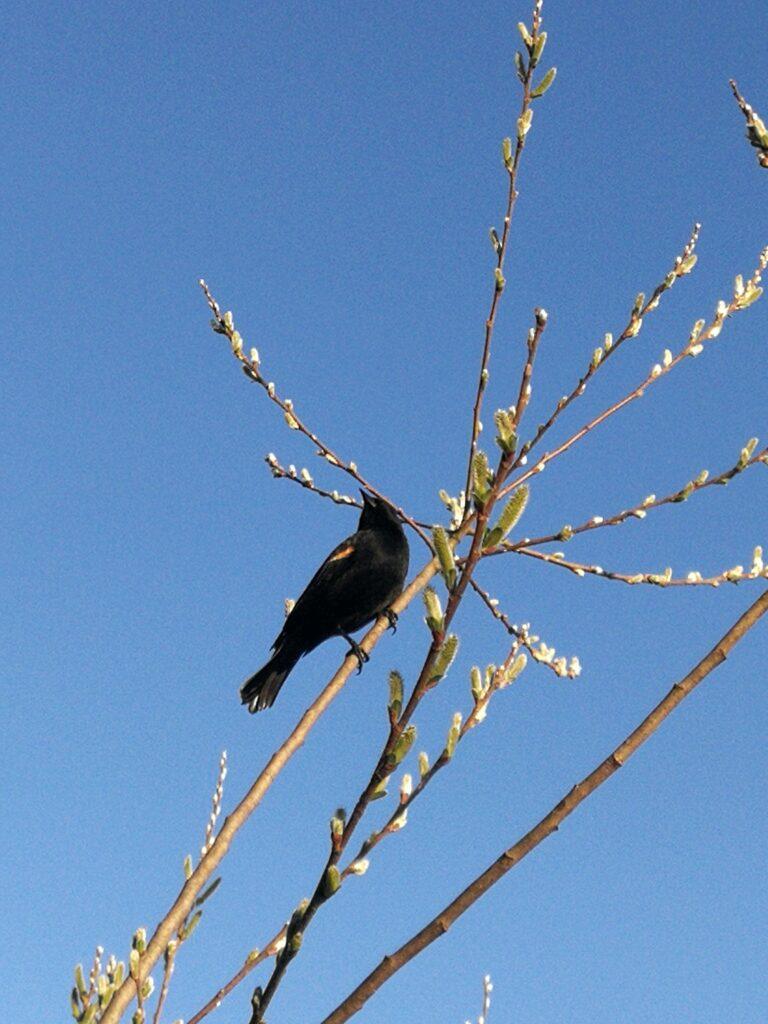 Blackwing bird Burnaby Lake