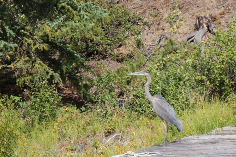 Blue heron at Nimpo Lake