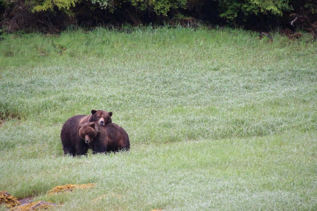 Grizzly bears at Khutzeymateen Inlet