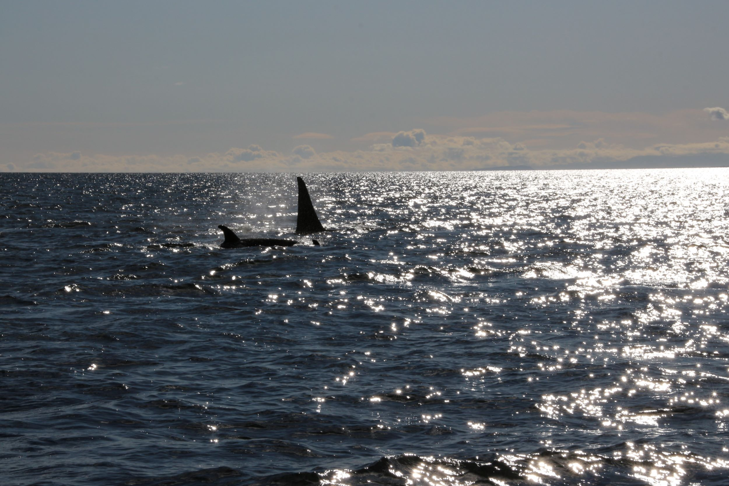 Orca whales near Campbell River