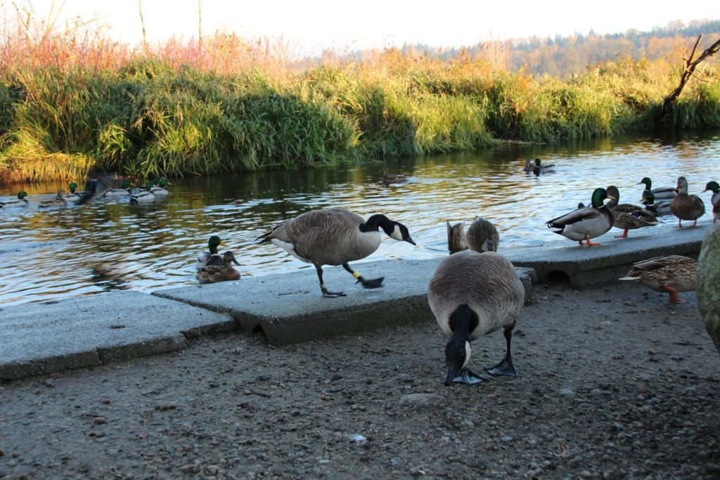 Canada geese at Eagle Creek