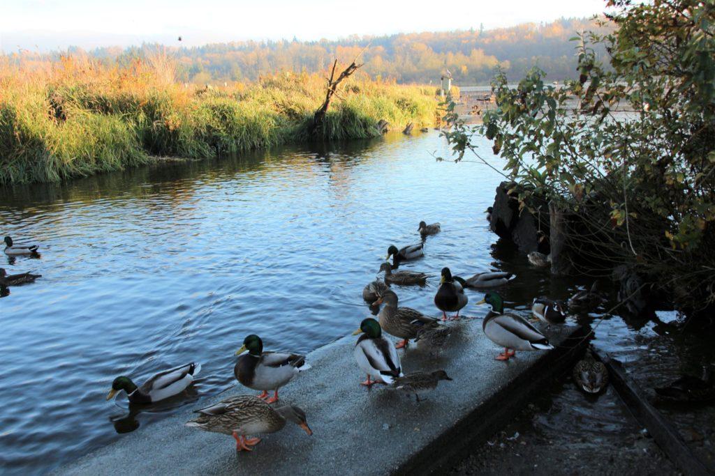 wild ducks Burnaby Lake