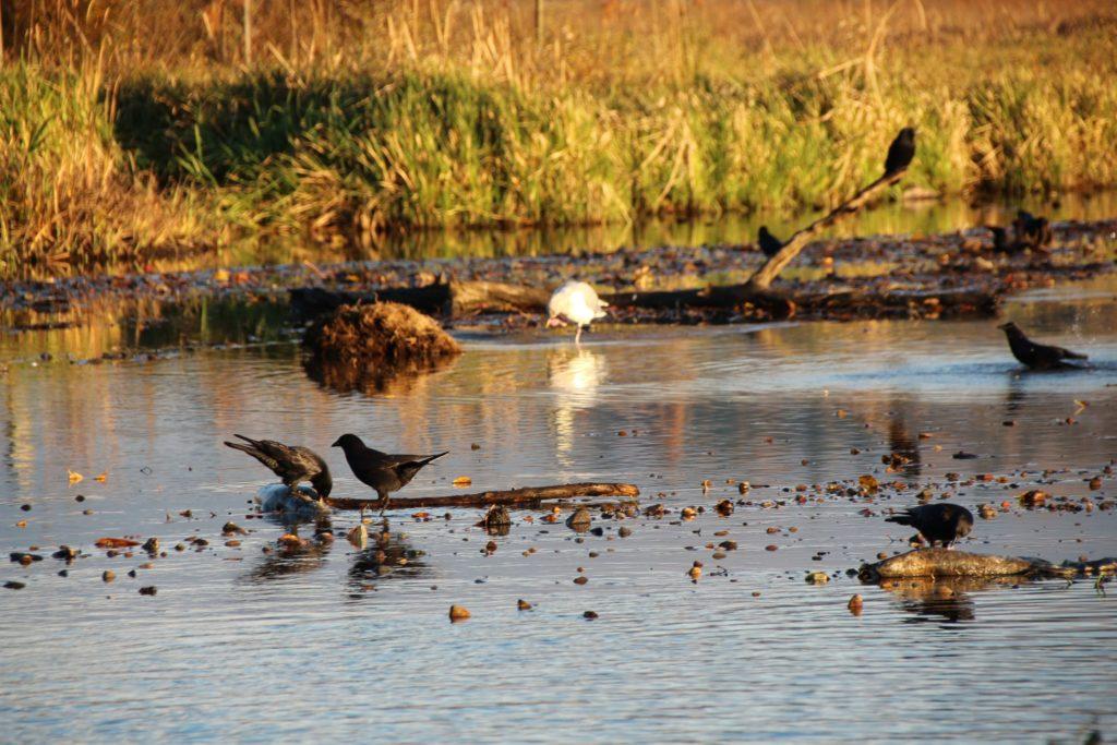 Burnaby Lake salmons & birds