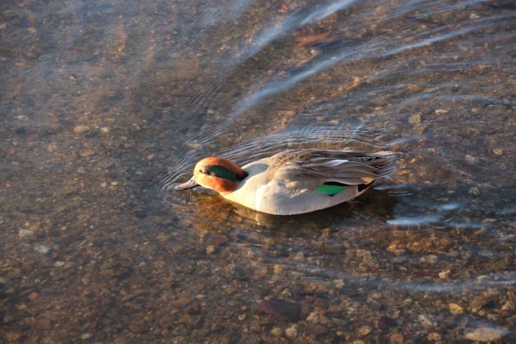 Green-winged Teel Burnaby Lake