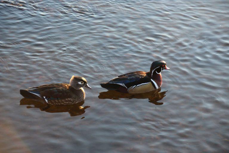 Burnaby Lake Woodducks