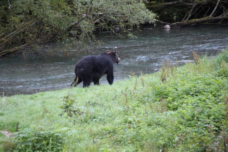 Grizzly bear at Fish Creek