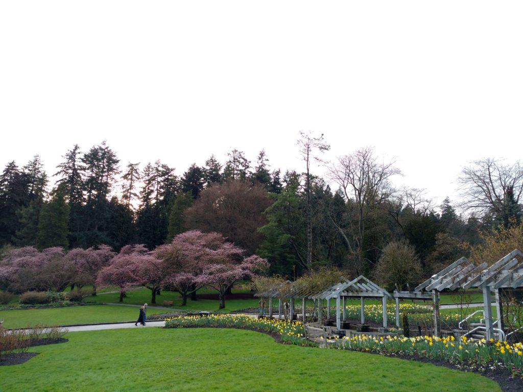 Cherry blossom Stanley Park