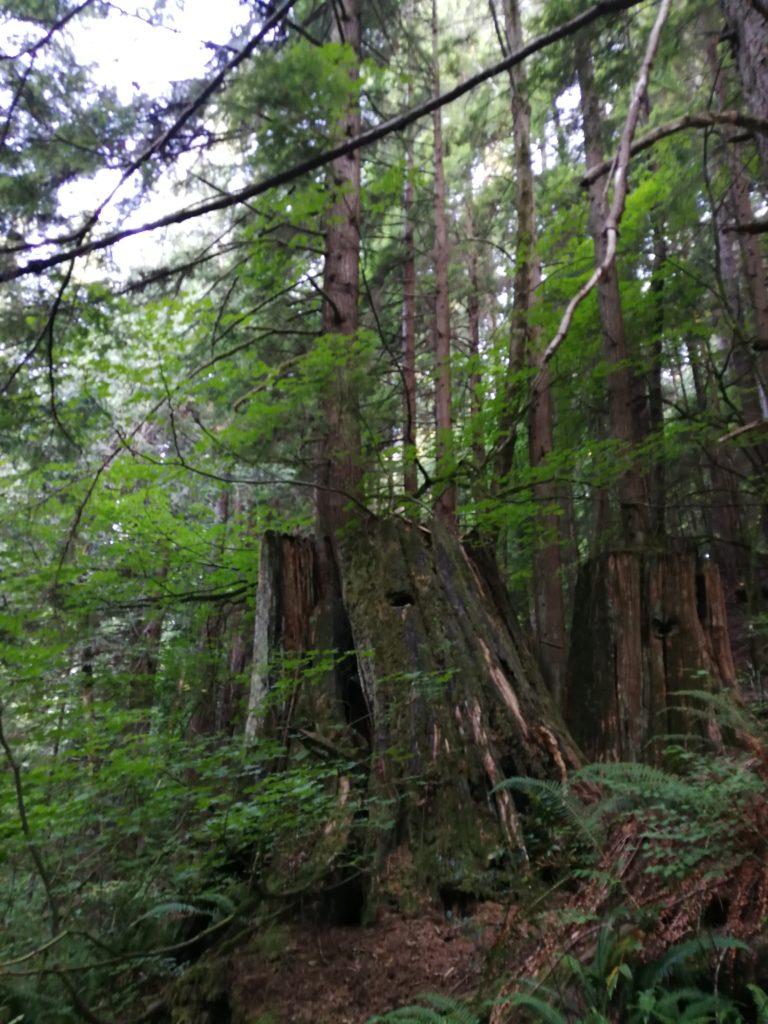Tree stumps Lynn Headwaters Park