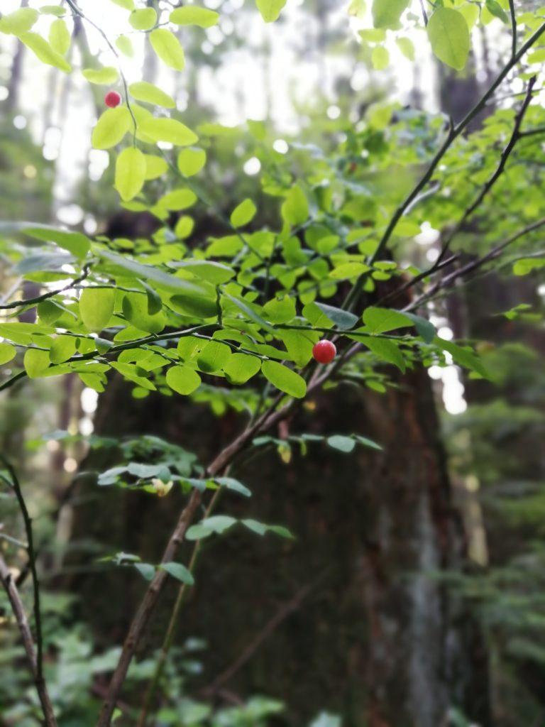 Huckleberry bush Lynn Headwaters Park