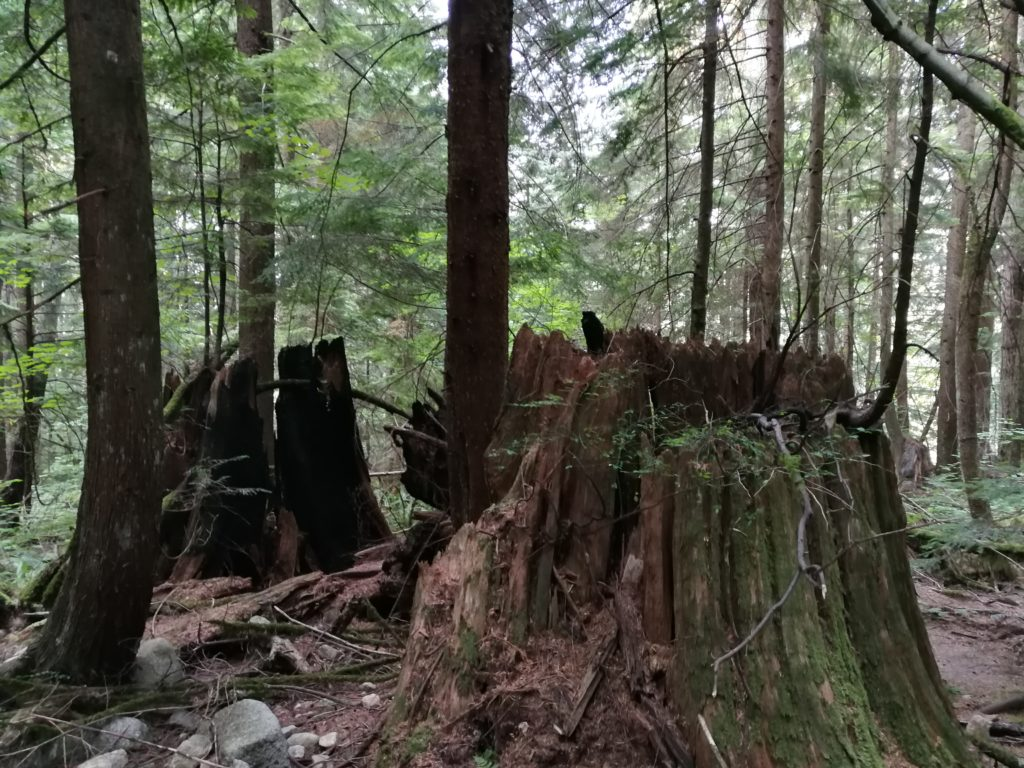 Tree stumps on Lynn Headwaters Trail