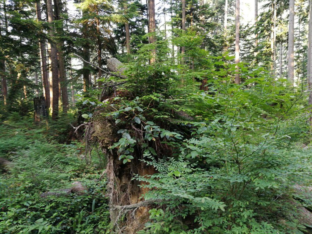 Nursing logs on Lynn Headwaters Trail