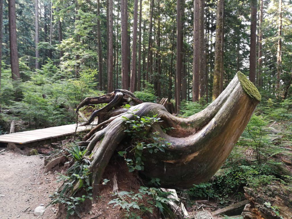 Tree stump on Lynn Headwaters Trail