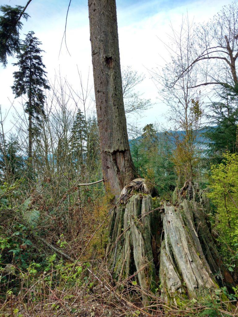 Tree stumps at Stanley Park
