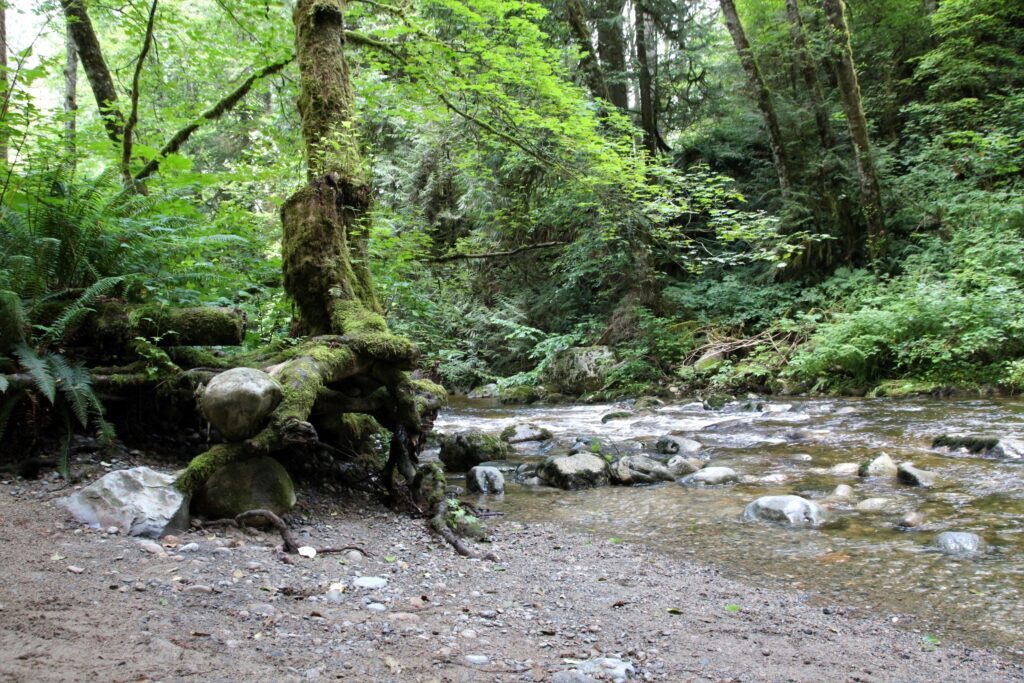 big tree's roots are washed out by the creek, hugging big rocks