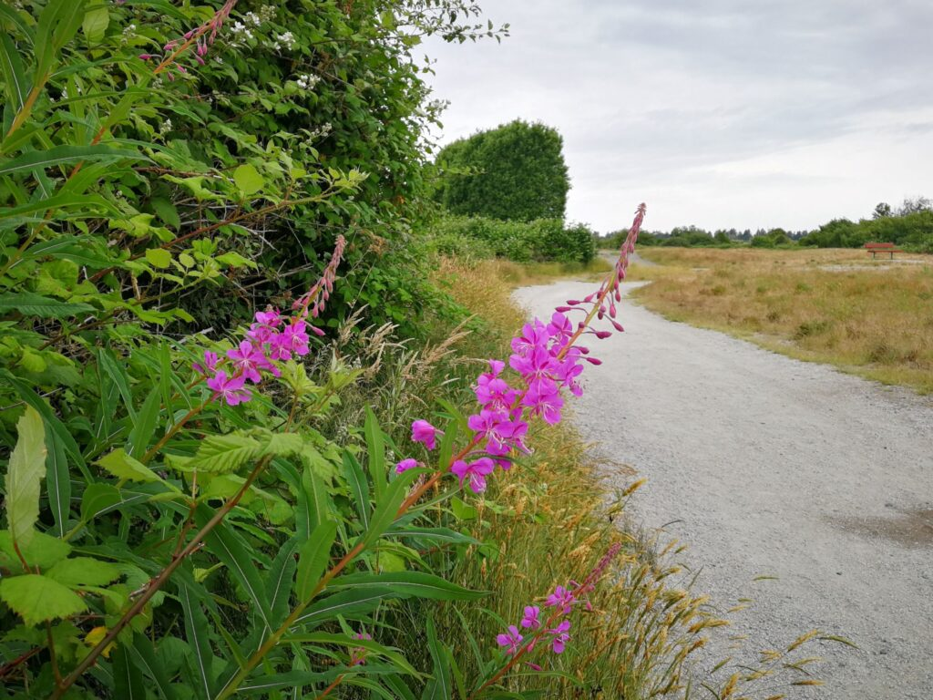 Fireweed on the trail Boundary Bay