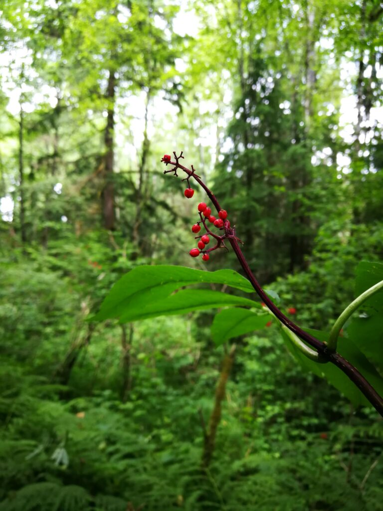 Elderberries at Kanaka Creek