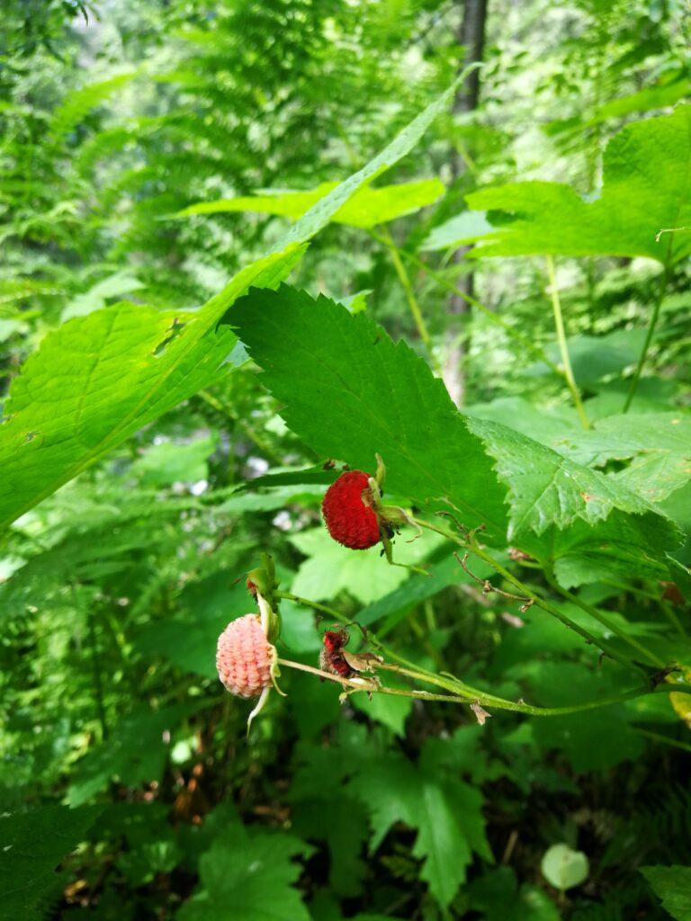 Thimbleberries at Kanaka Creek
