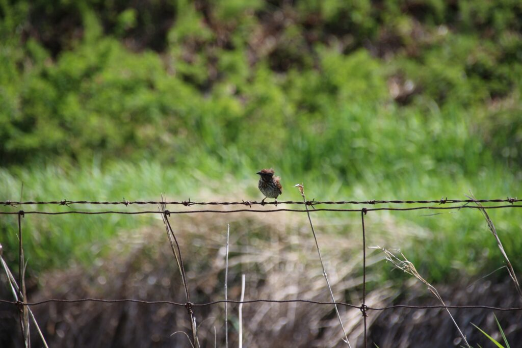 Song sparrow on the wire fence