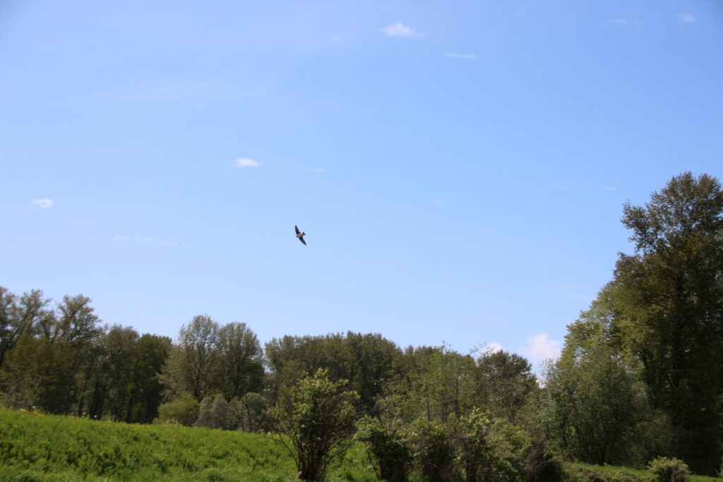 Swifts flying at Colony Farm