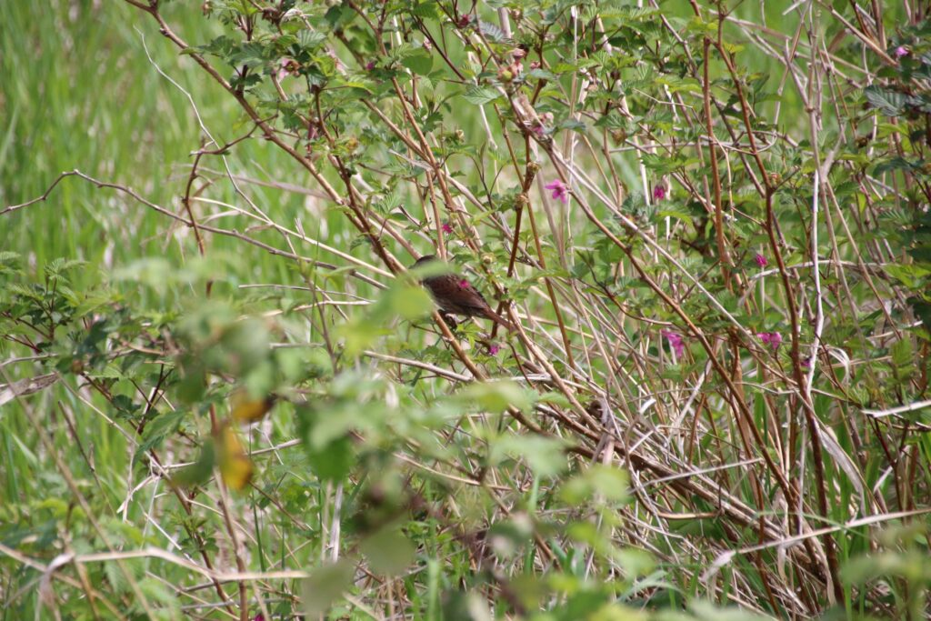 Song sparrow perching on a salmon berry bush