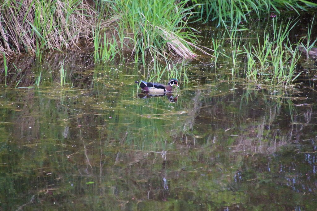 Woodduck in the river Colony Farm