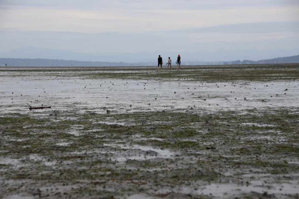 clam diggers on the beach at Boundary Bay